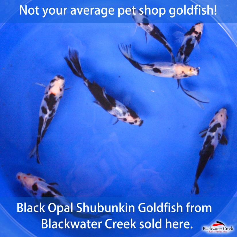 Black Opal Shubunkin Goldfish