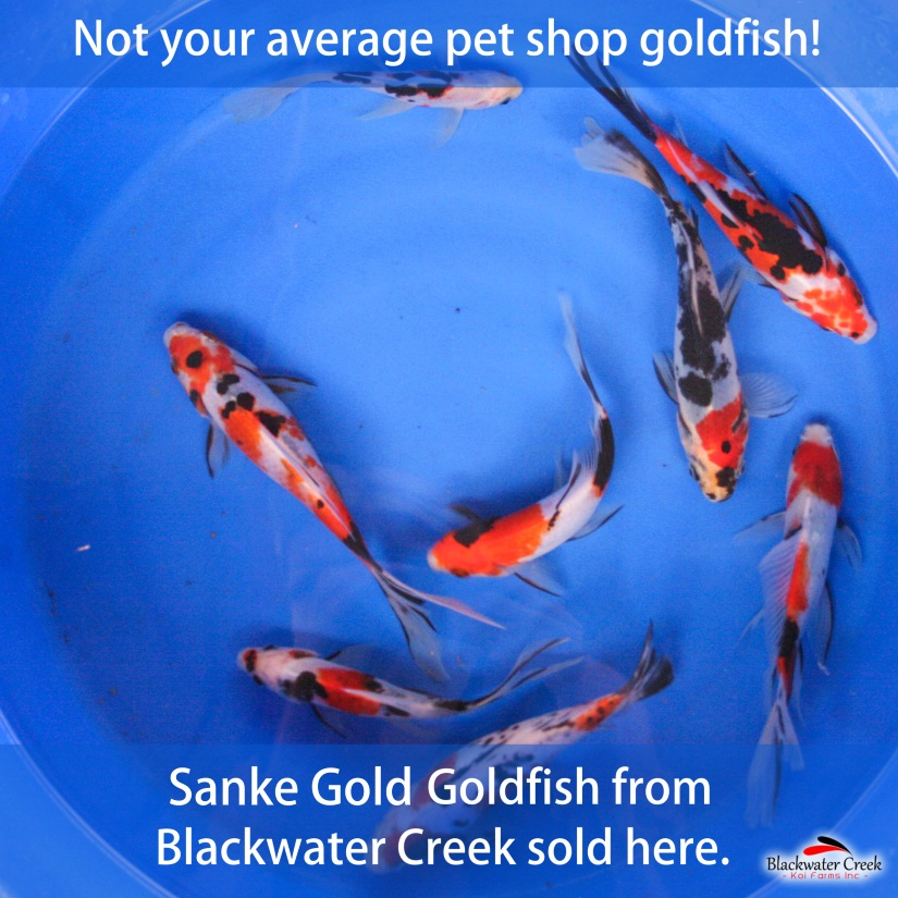Goldfish are easy to care for year round, even under the ice in winter and Goldfish diseases are fairly  UNCOMMON.  These Goldfish were developed as an alternative to Koi to allow people to keep some spectacular fish in a small space such a patio pond or they can coexist in larger ponds with your prized Koi.  We offer Goldfish from Blackwater Creek such as Shubunkin, Black Opal Shubunkin, Sanke Gold, Wakin, and Calico Wakin all for sale