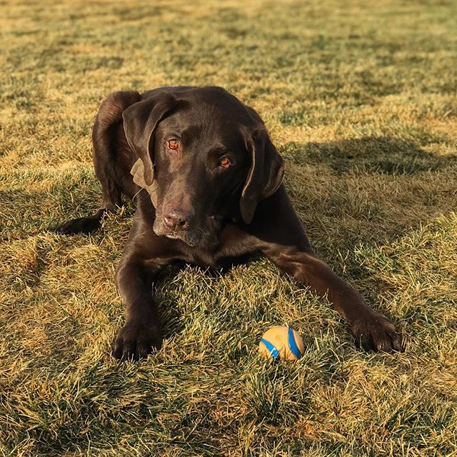This guy is thankful for tennis balls and empty baseball fields free for fetch.