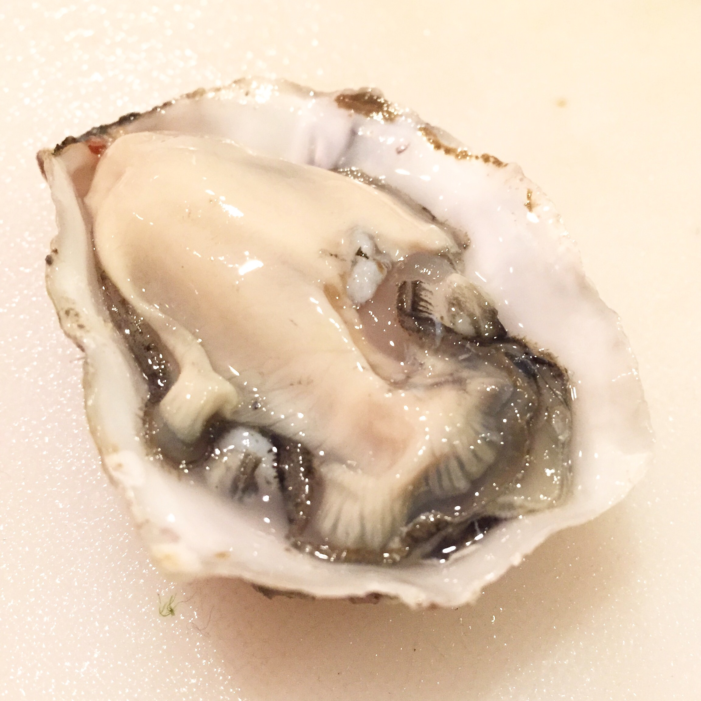 coromandeloyster