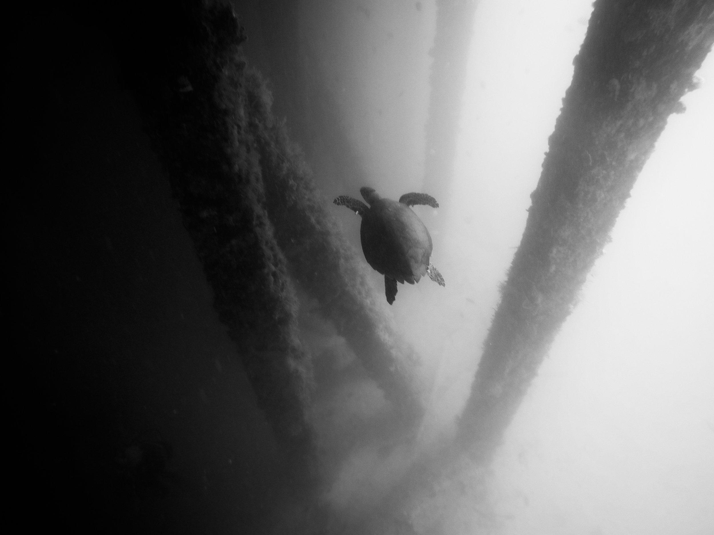 Puerto Rico Sea Turtle - Devin Feil