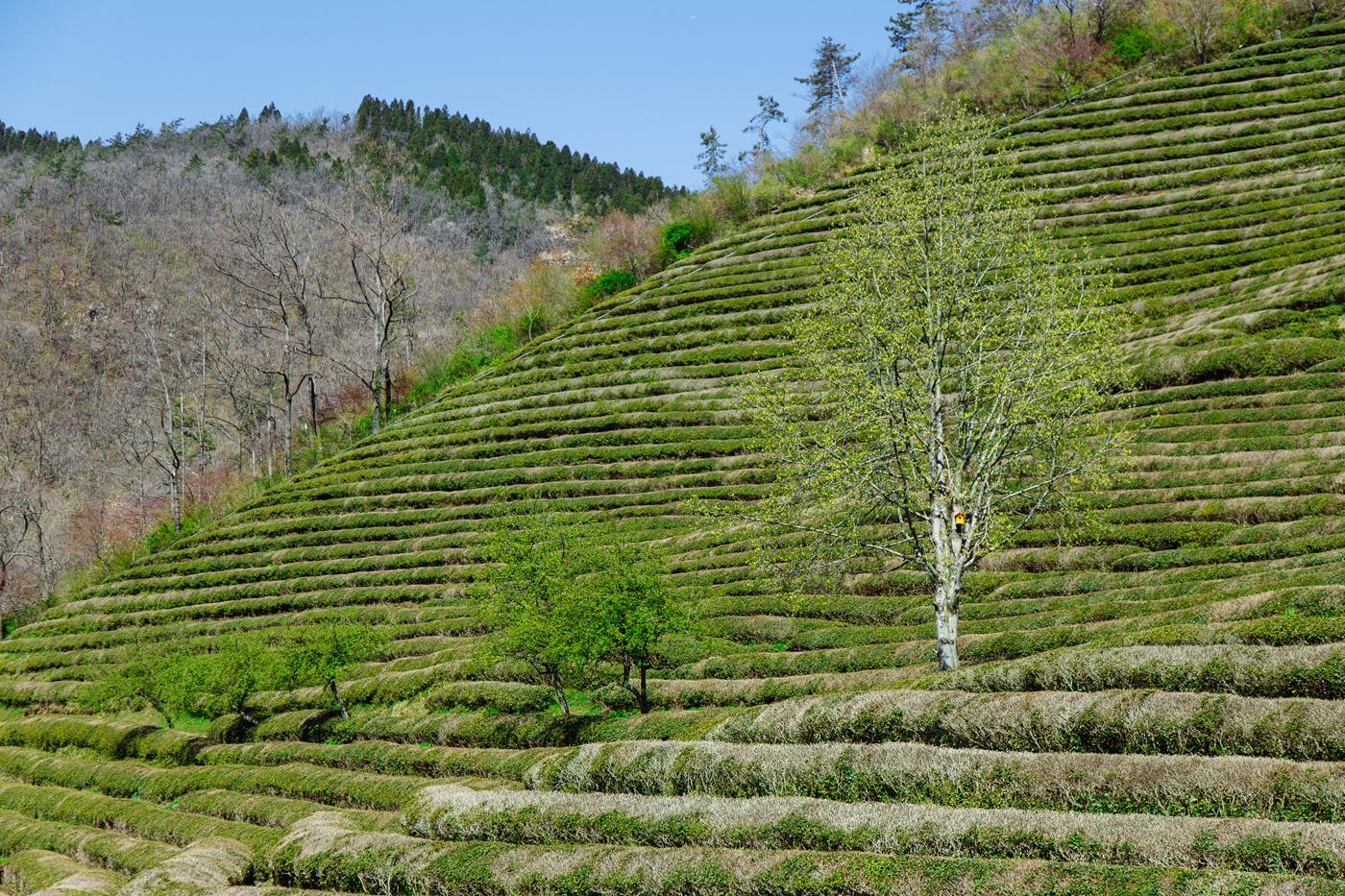 Namhae (남해)Road Trip Series:Boseong Green Tea Plantation (보성녹차밭 대한다원),South Korea.
