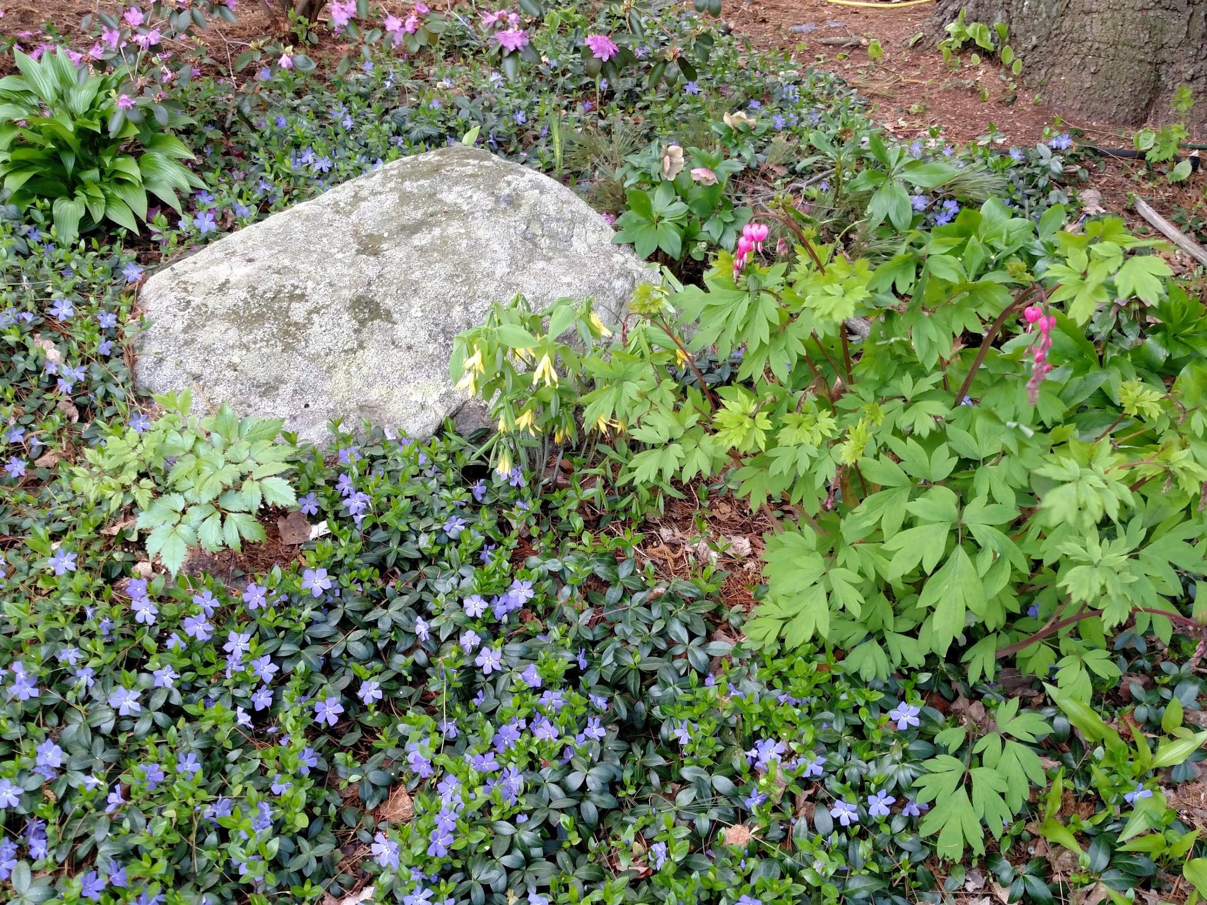 Vinca vine in bloom in early Spring