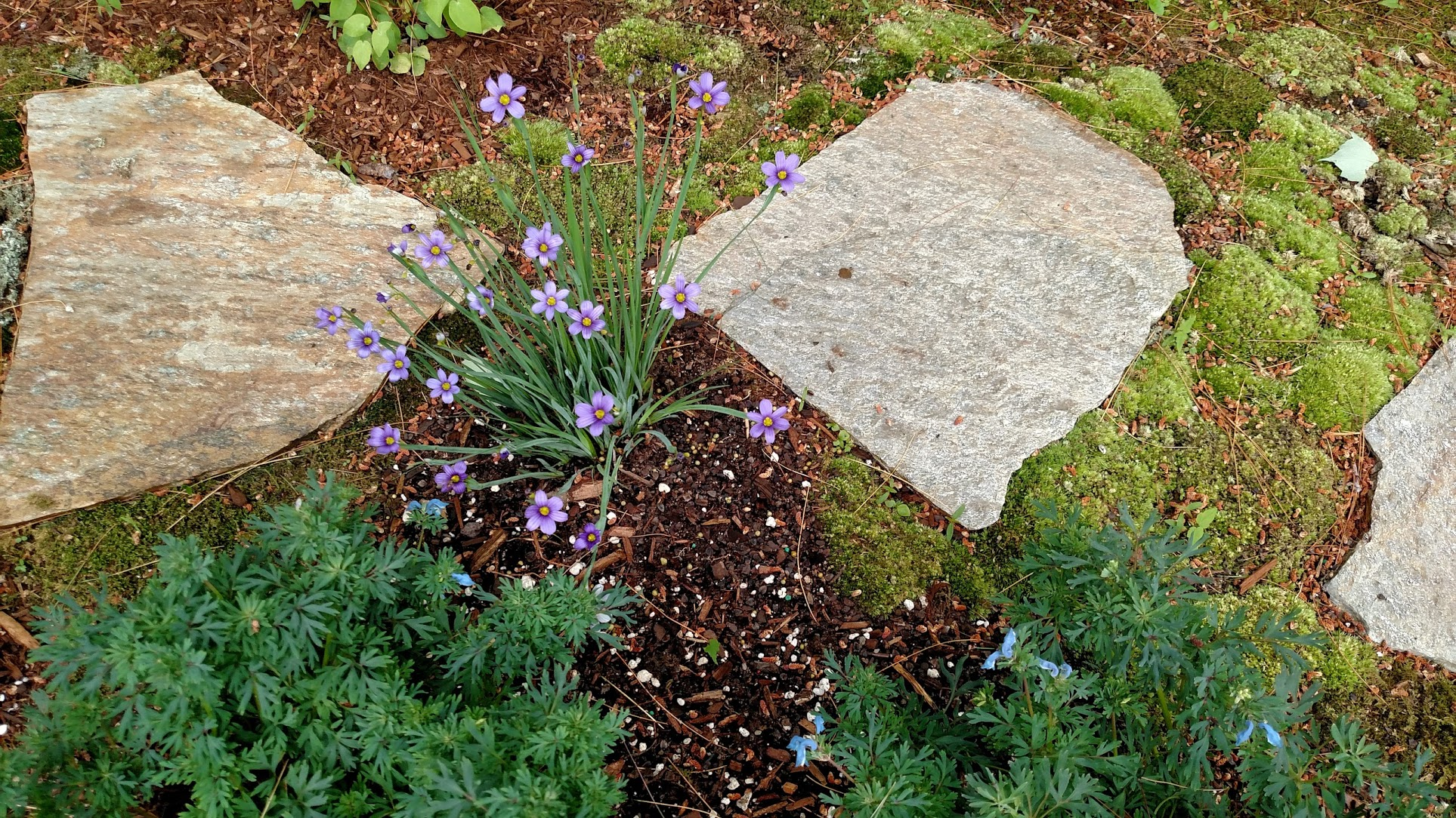 Blue-eyed grass & corydalis lutea