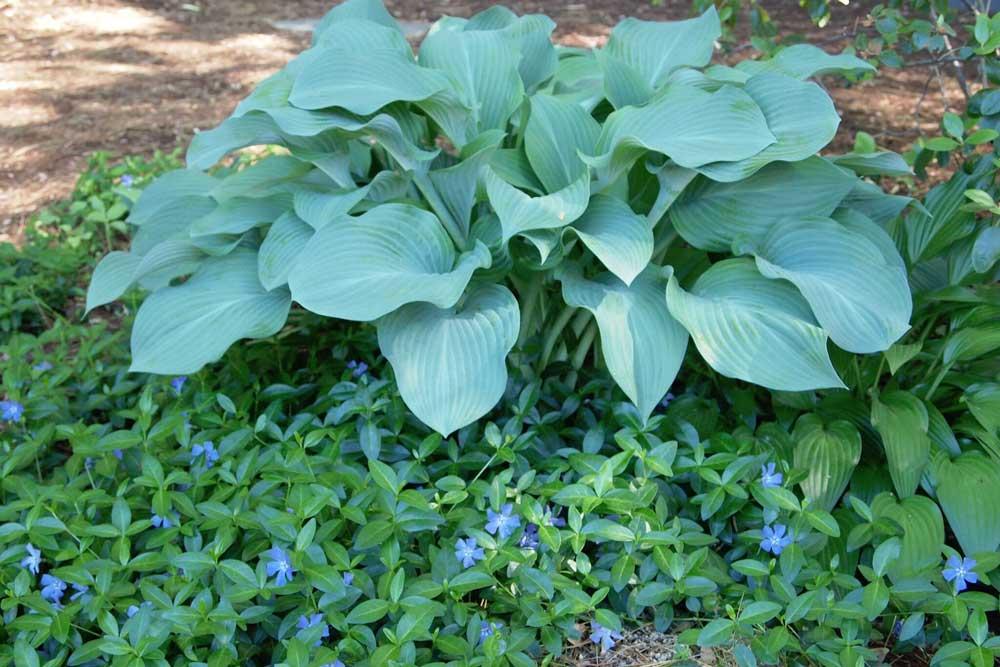 Vinca vine ground cover in mid September provides a nice contrast to Empress Wu hosta