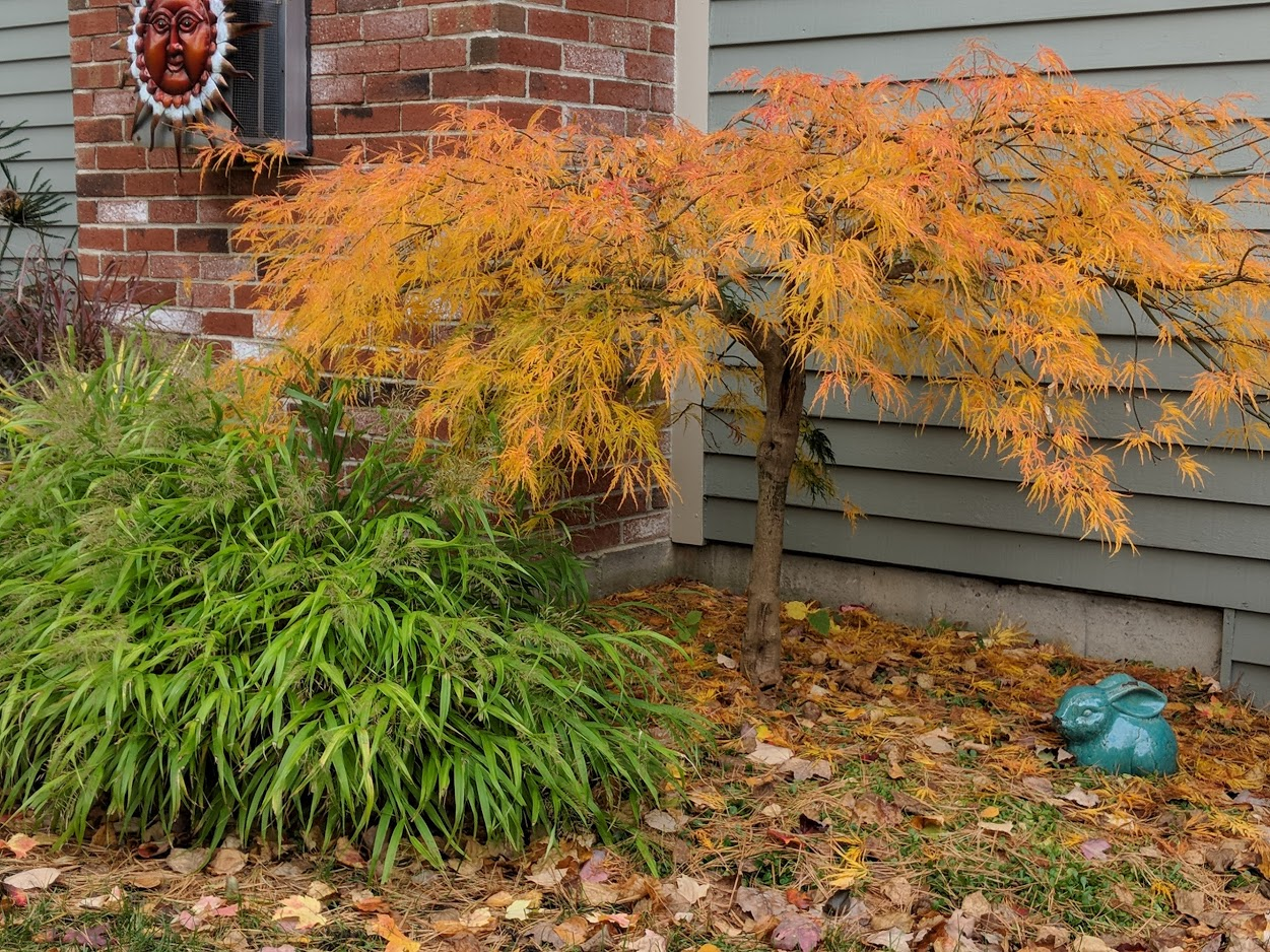 Nov 7th: grass changes from gold to green and Japanese maple leaves turn from green to gold
