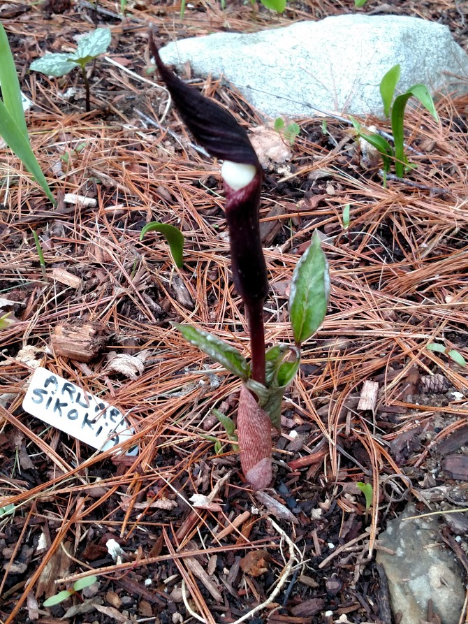 another arisaema sikokianum on May 3rd
