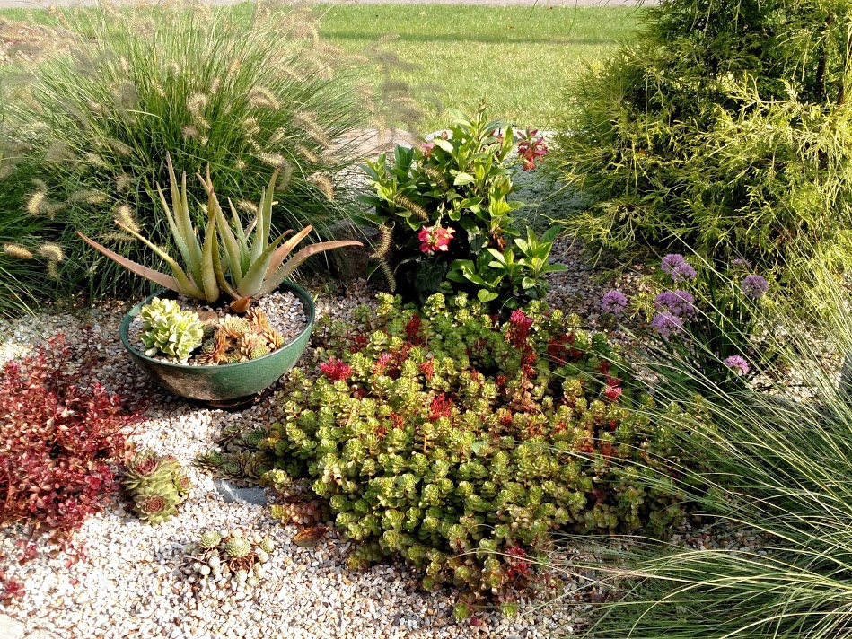 "Plants can still spread when planted or ""mulched"" with pea gravel. Note how the sempervivum (hens and chicks) are branching out."