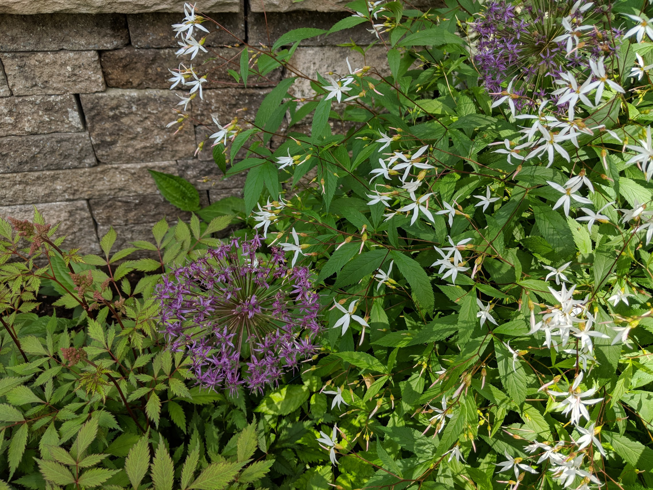 June 11: allium inter-planted with astilbe and gillenia