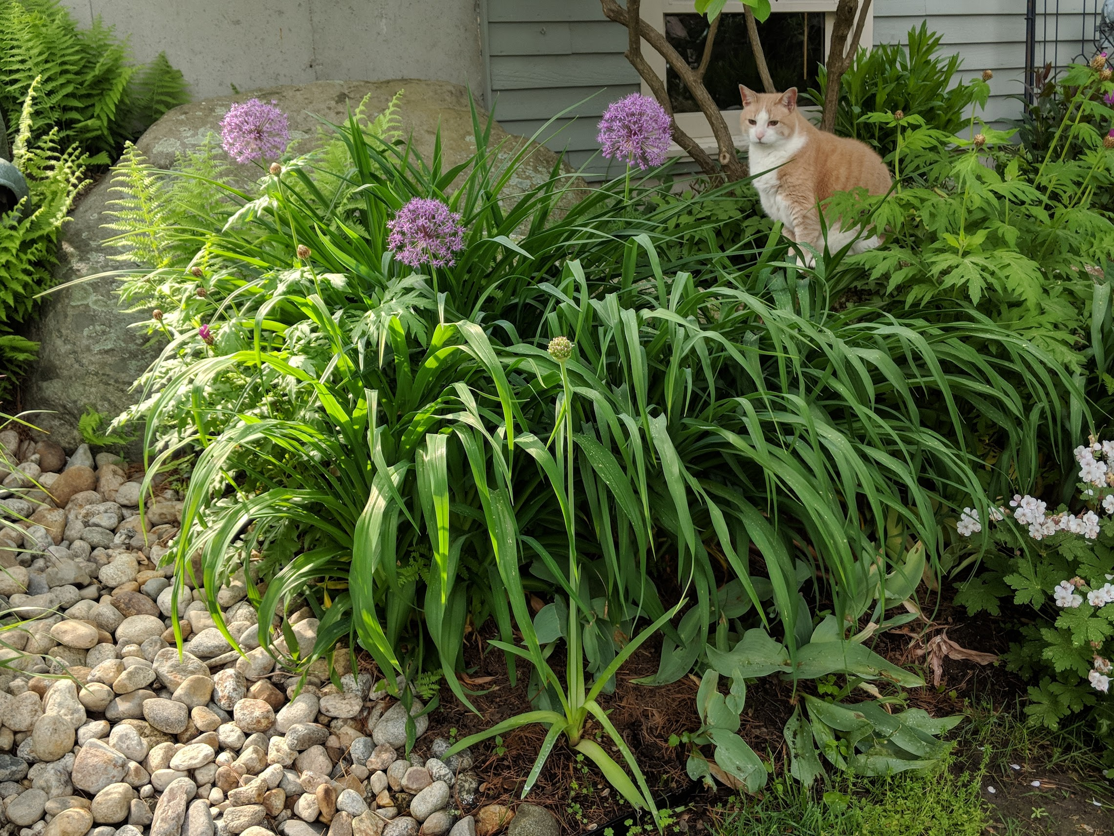 'Miami' allium emerges from daylily foliage. Notice the dying back 'Fur Elise' tulips in front of the lilies.