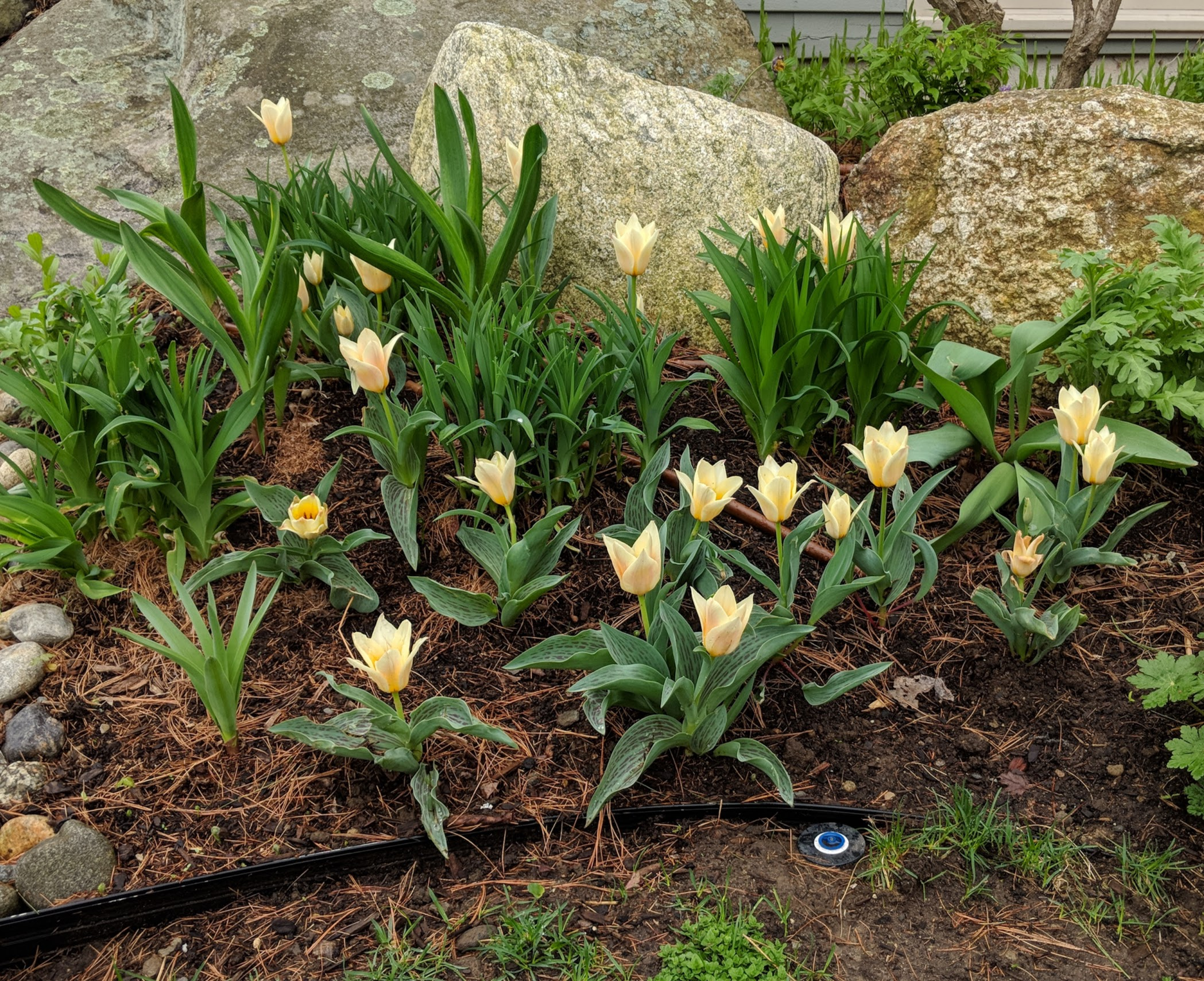 Fur Elise tulips offer soft beauty months before the daylilies burst into color