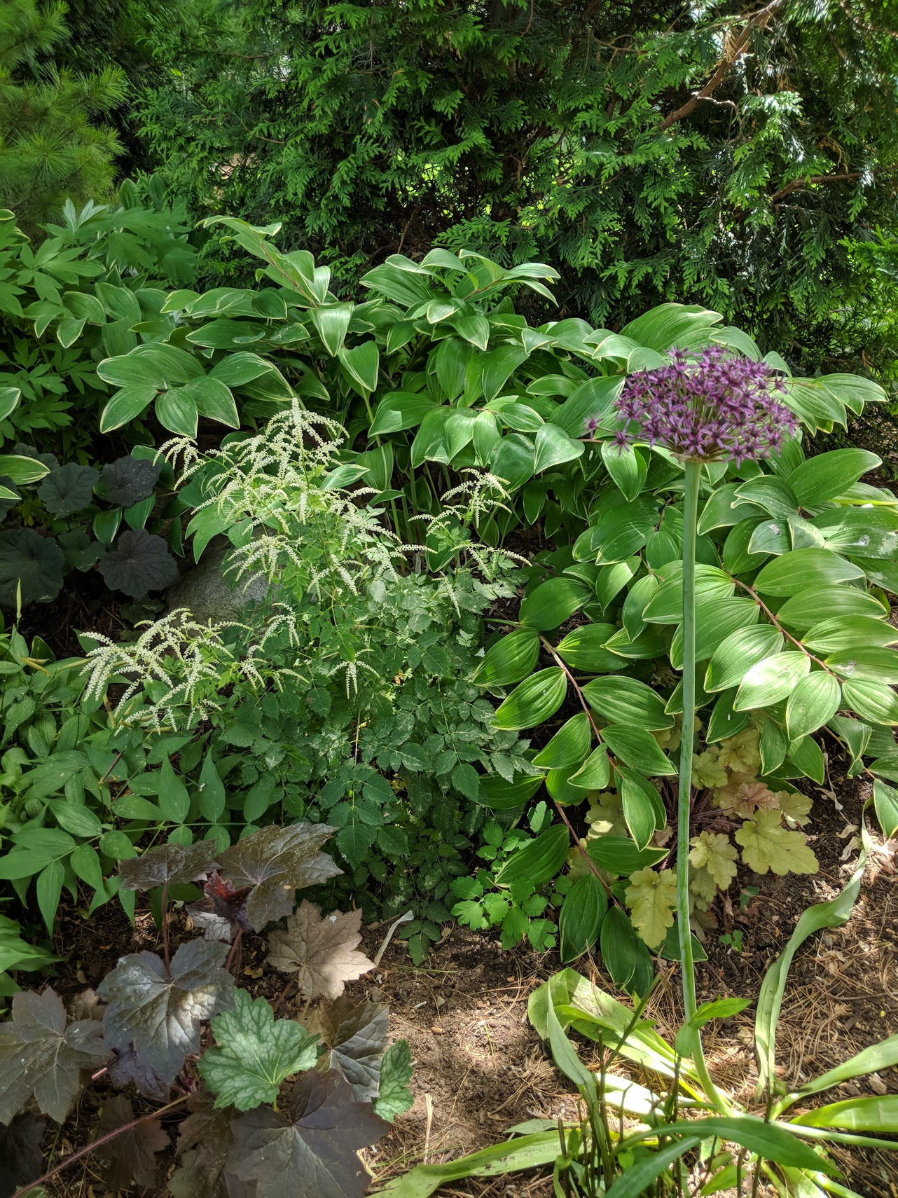 A single allium accents the feathery plumes of Goatsbeard in the shade garden.
