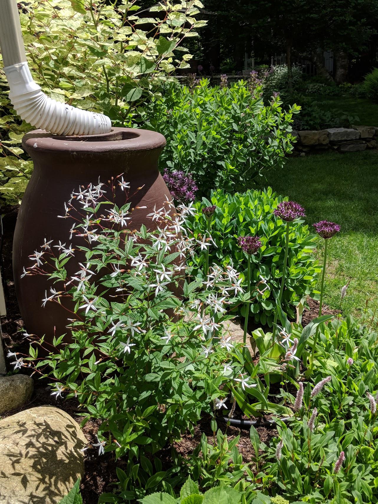 'Miami' allium, gillenia trifoliata and persicaria 'superba' help to soften the rain barrel.