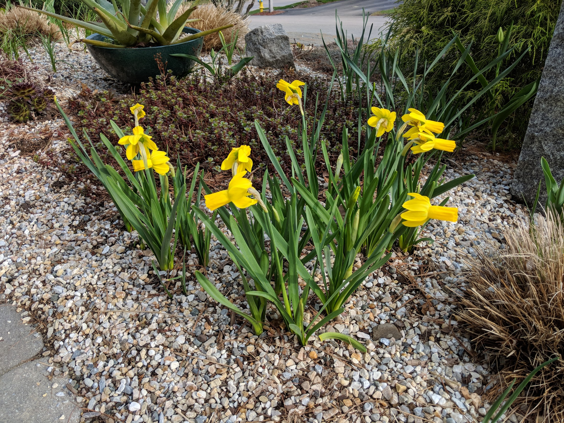 'Rapture' narcissus in the gravel garden. Adjacent ornamental grass will eventually spill over fading daff foliage