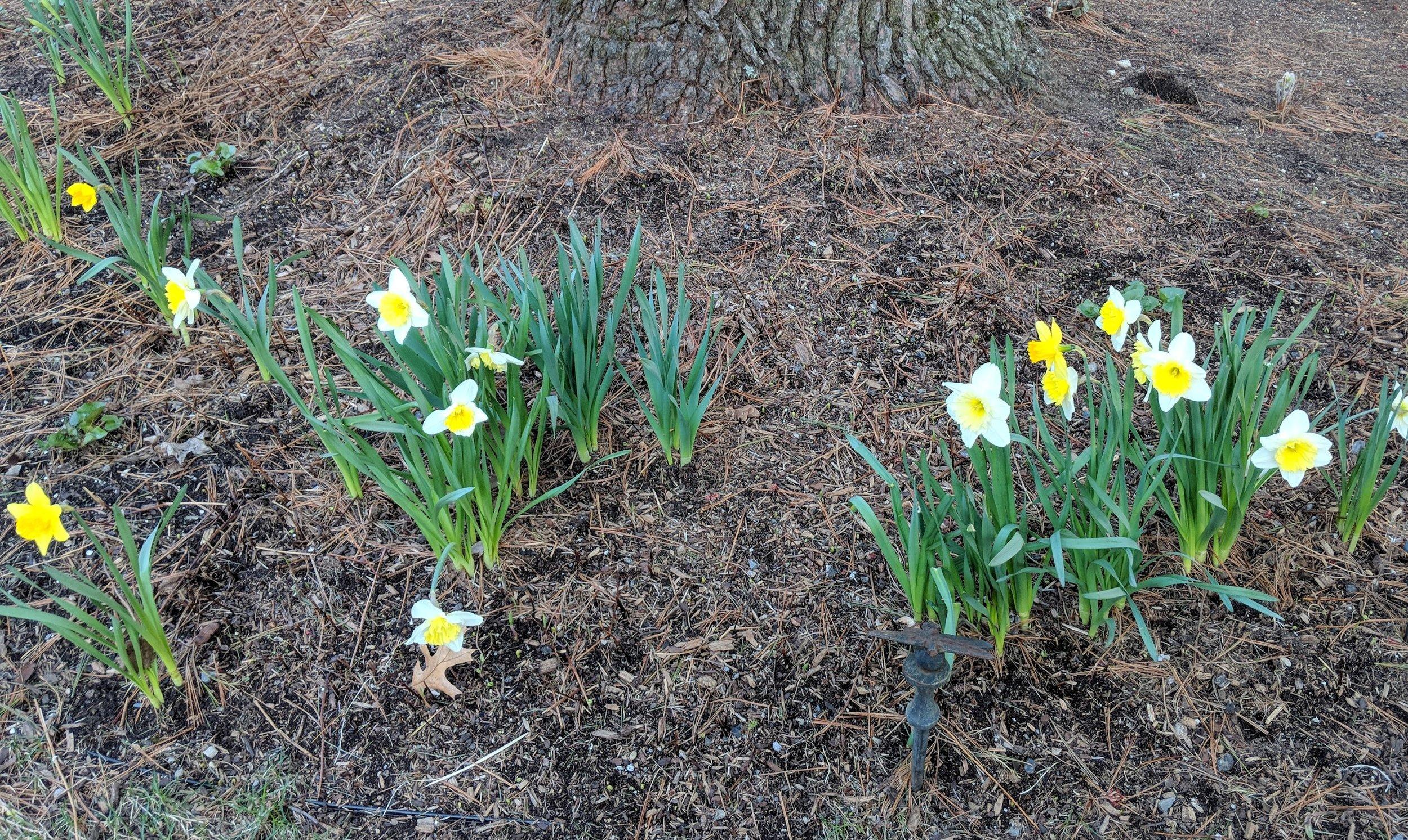 April  28: Daffodils in fern bed