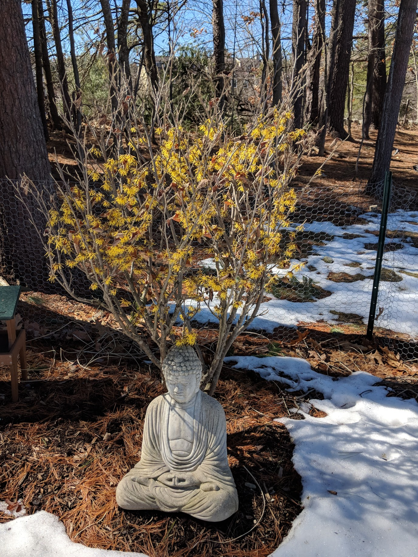 Hamamelis 'Arnold's Promise' blooms on March 31, 2018