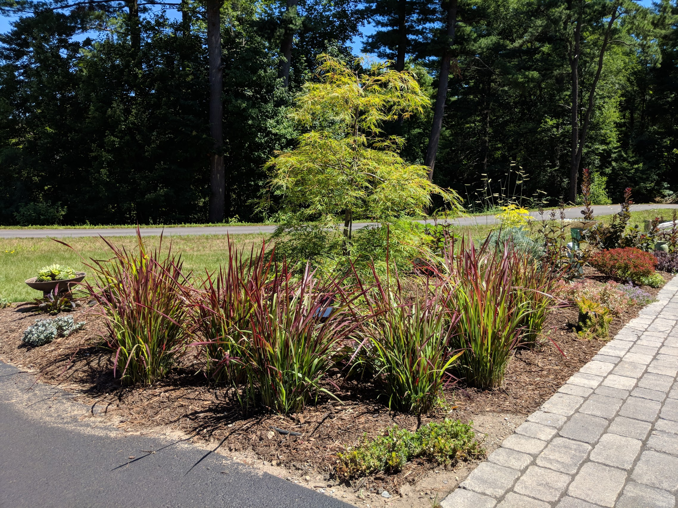Japanese blood grass anchors corner by laceleaf Japanese Maple