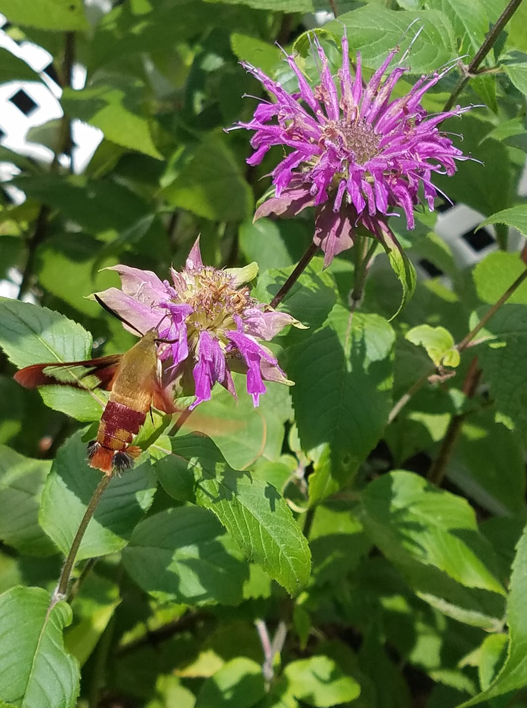 Butterfly moth on bee balm