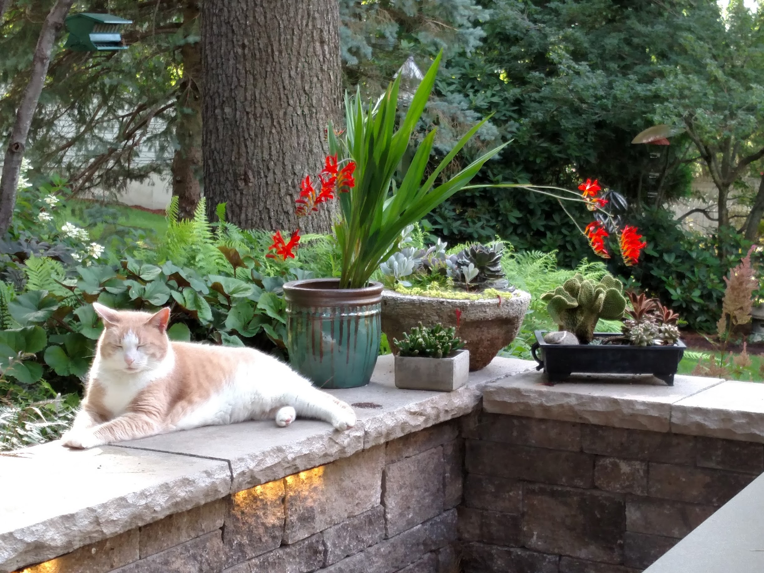 Harry the Cat in a serene moment with potted Crocosmia and succulents