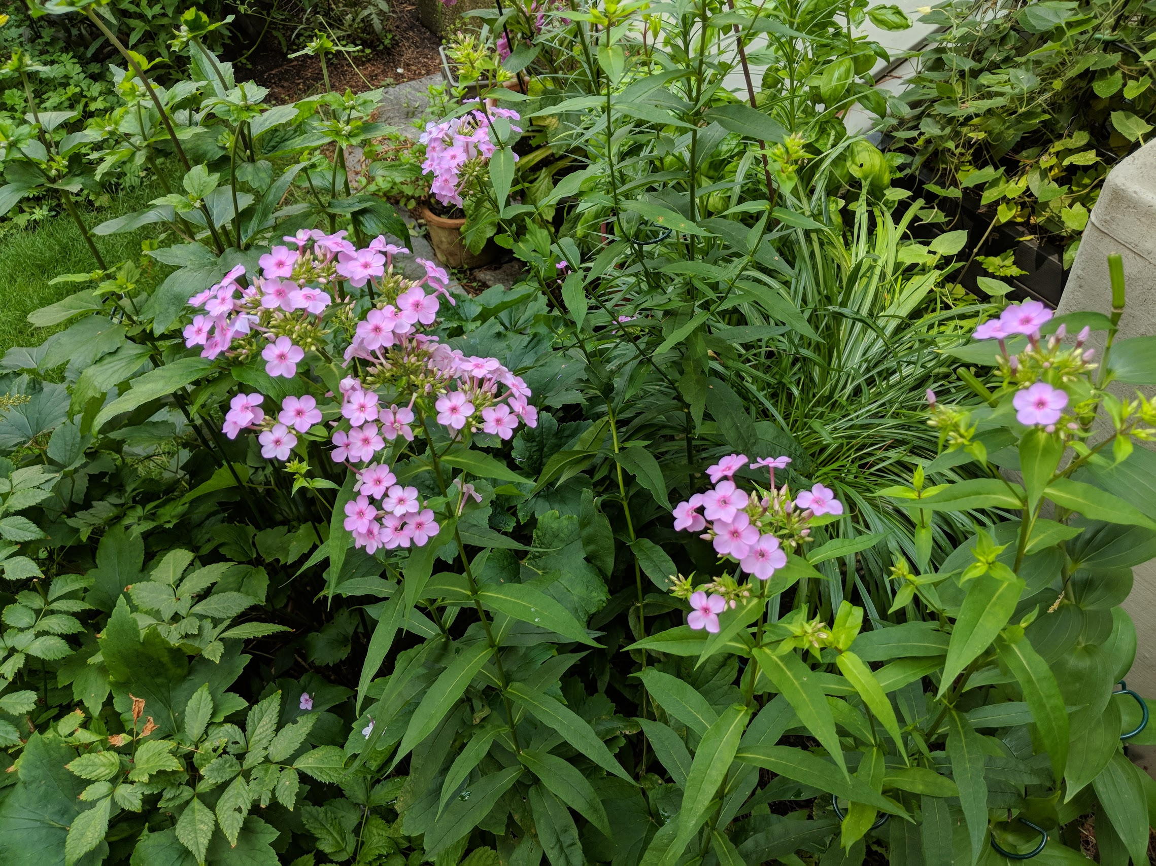 Phlox paniculata 'Speed Limit45' among dense plantings of Astilbe and Japanese Anemone