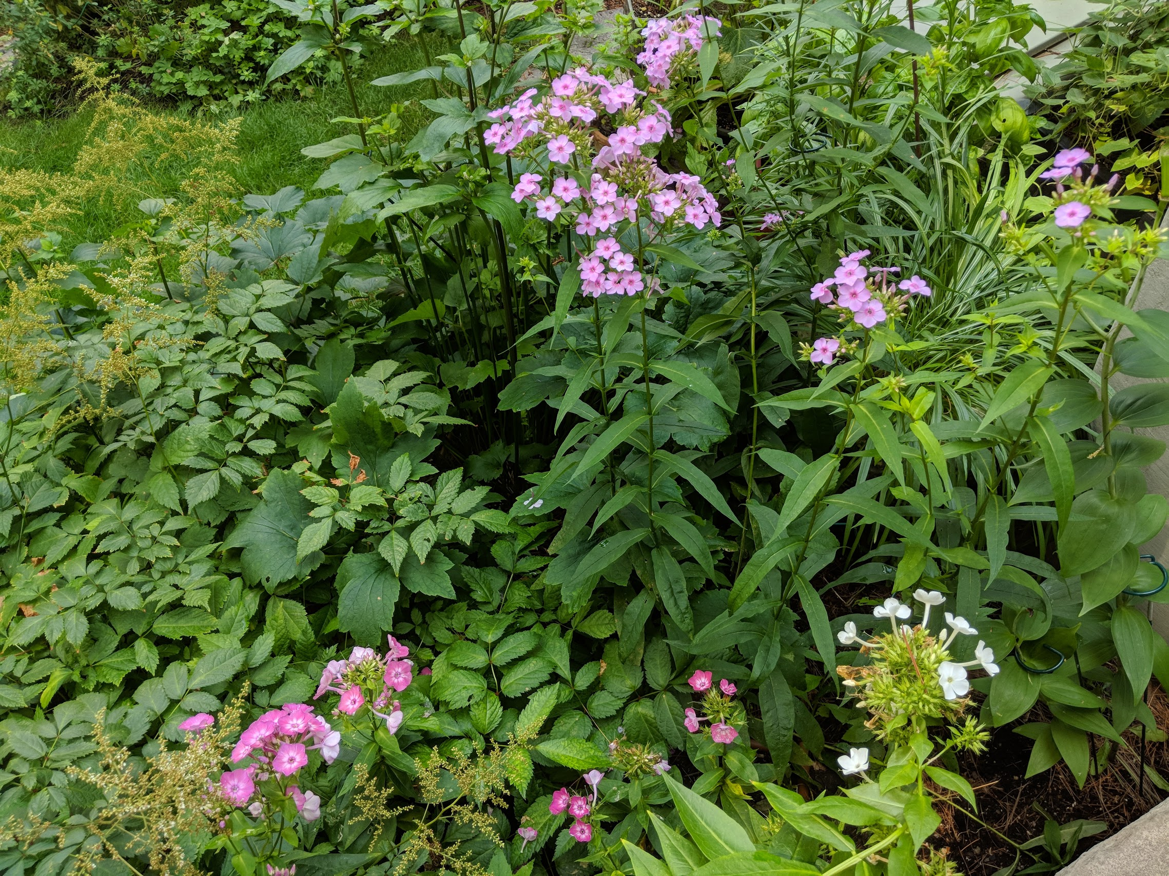 Phlox paniculata 'Speed Limit 45' (tallest) with 'Volcano Pink White Eye' (lower left) and 'David' (white)