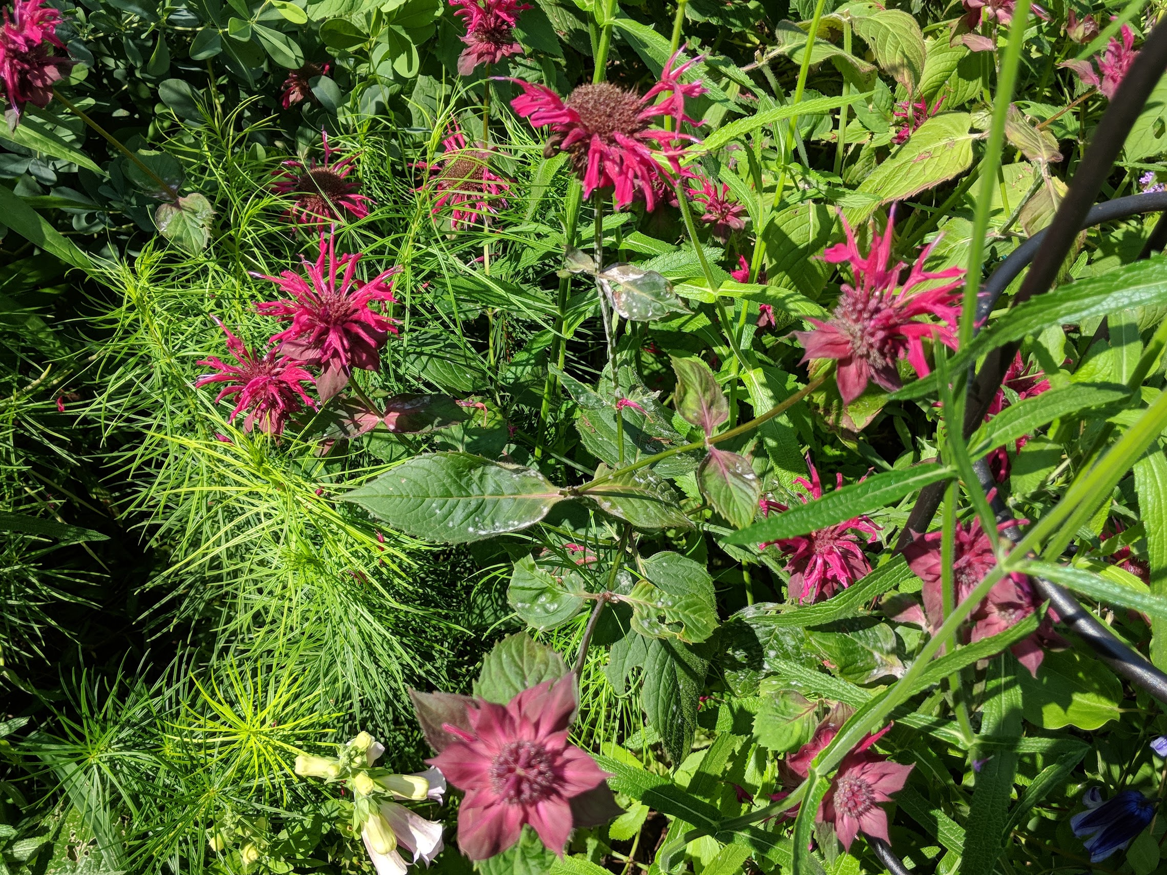 Monarda 'Raspberry Wine' with slight sign of powdery mildew that was stopped with an immediate application of Serenade