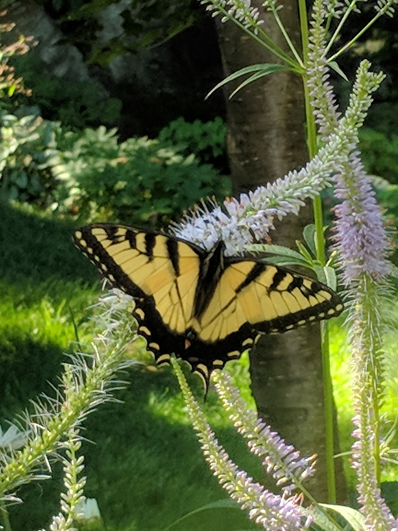 Male Swallowtail is striking against the curvy Veronicastrum bloom.