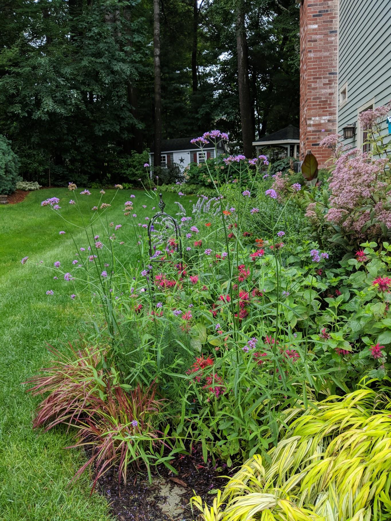 Verbena bonariensis is my favorite annual for lightening up a 'heavy' garden