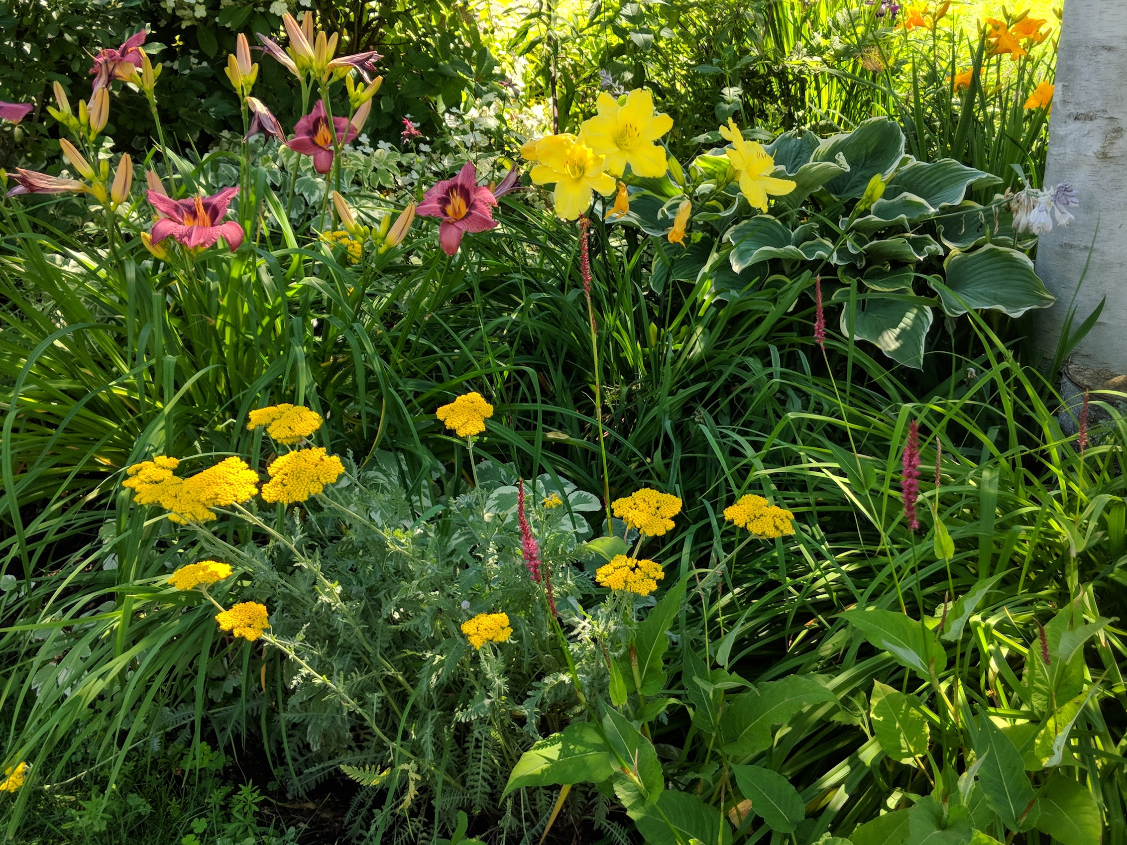 Daylilies, yarrow and persicaria