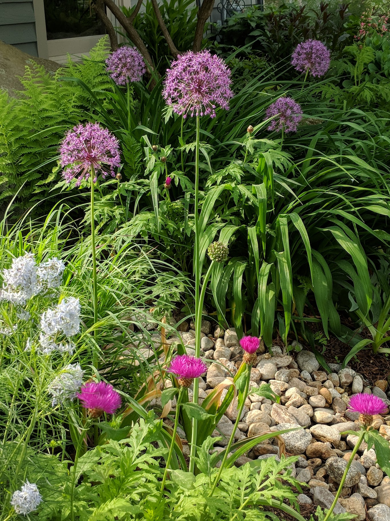 Shades of purple and blue: allium, amsonia, and knapweed