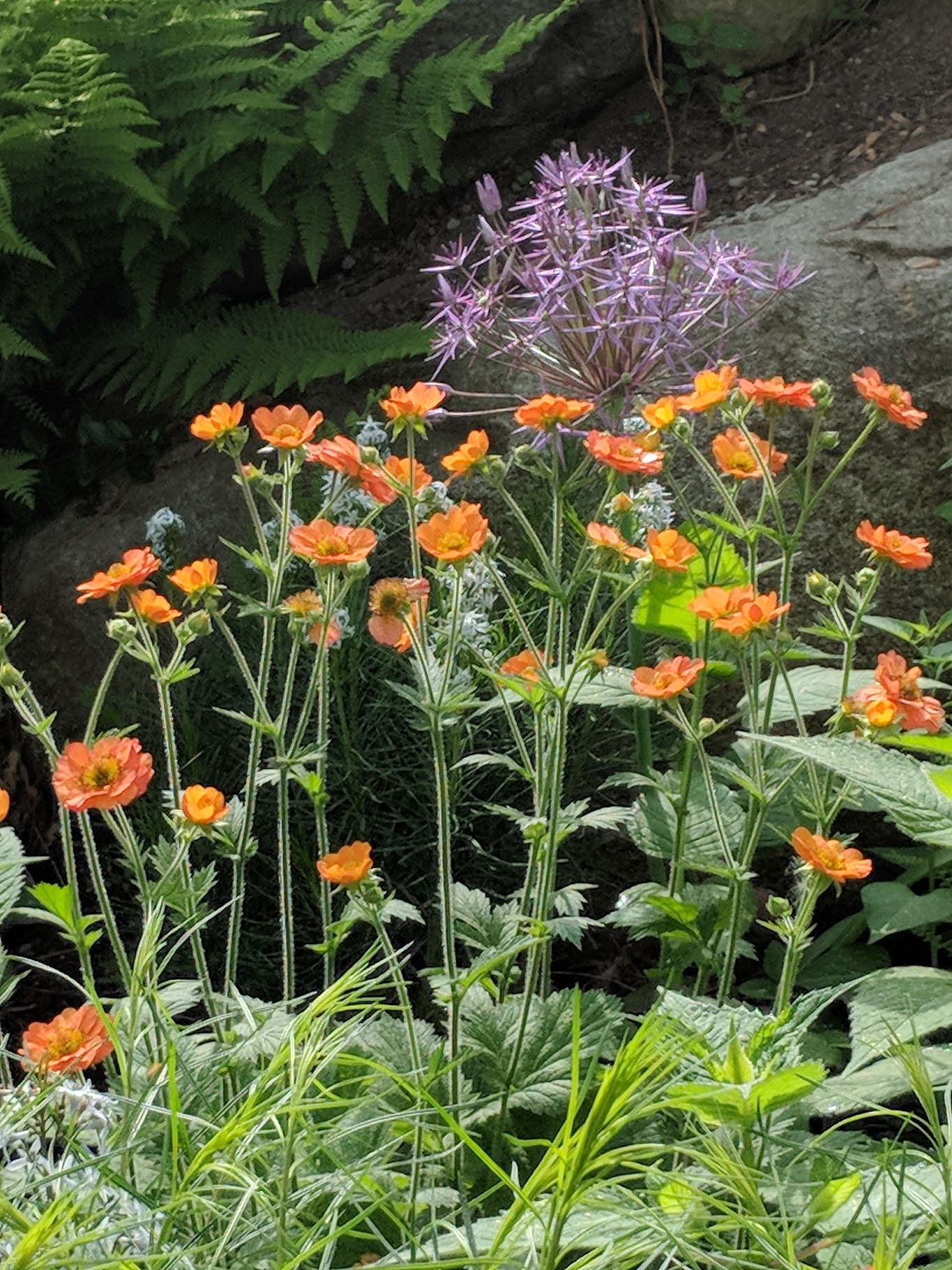 Long blooming Geum 'Tangerine' dances happily with Allium 'Christophii'