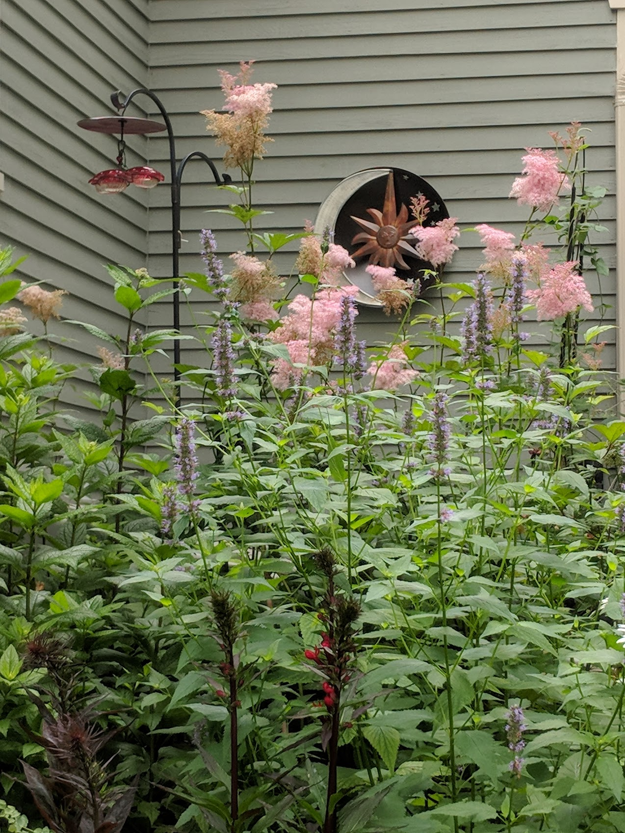 July 16: Pink Filipendula 'Queen of Prairie and purple Agastache 'Black Adder' take a turn