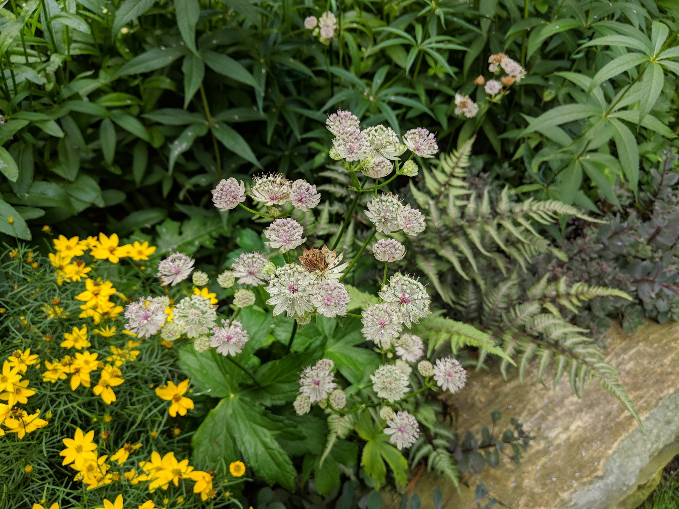 Jul 16: Astrantia 'Roma', delicate and perfect for rock walls
