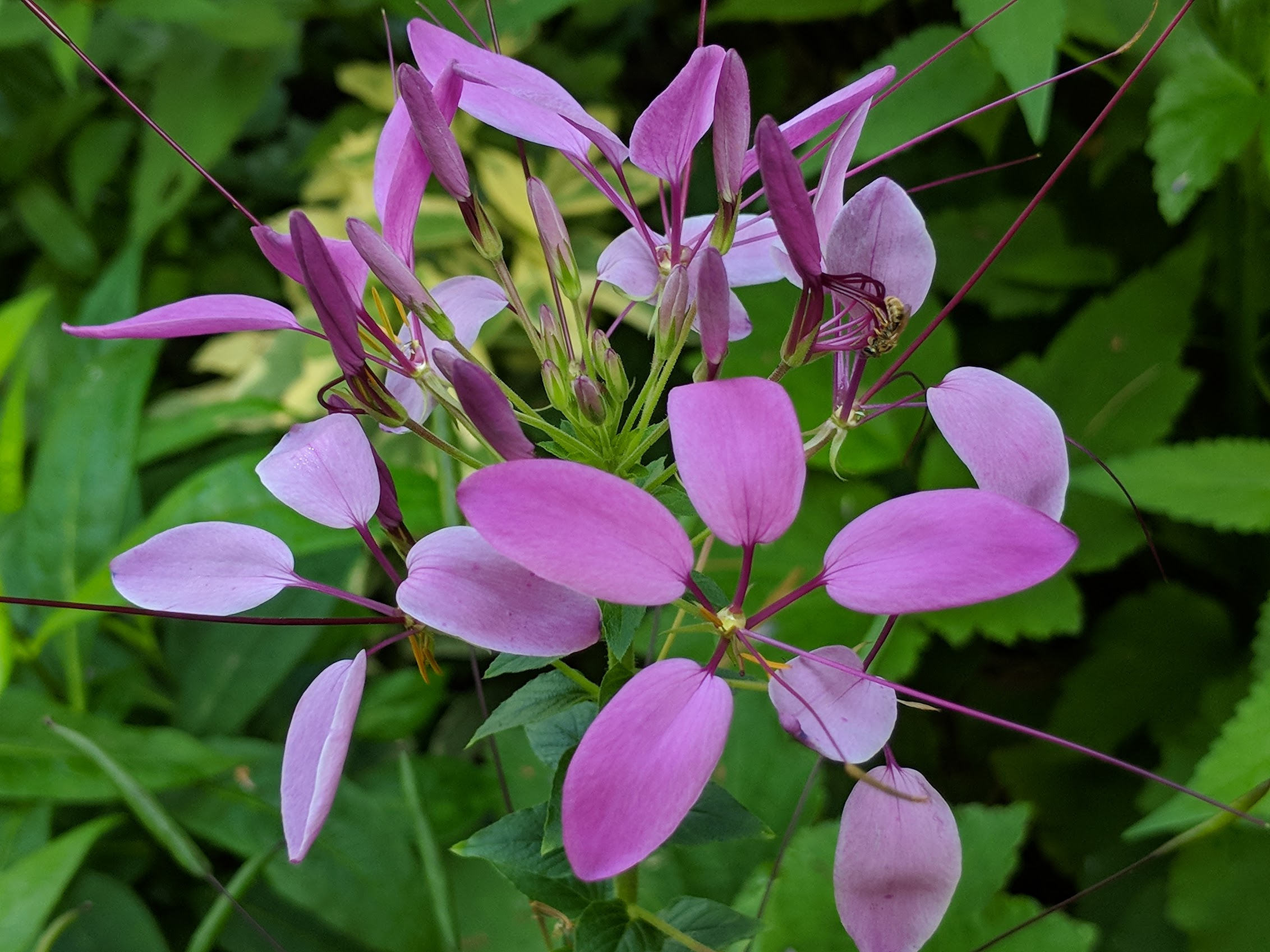 Aug 6: Cleome inflorescence with native bee