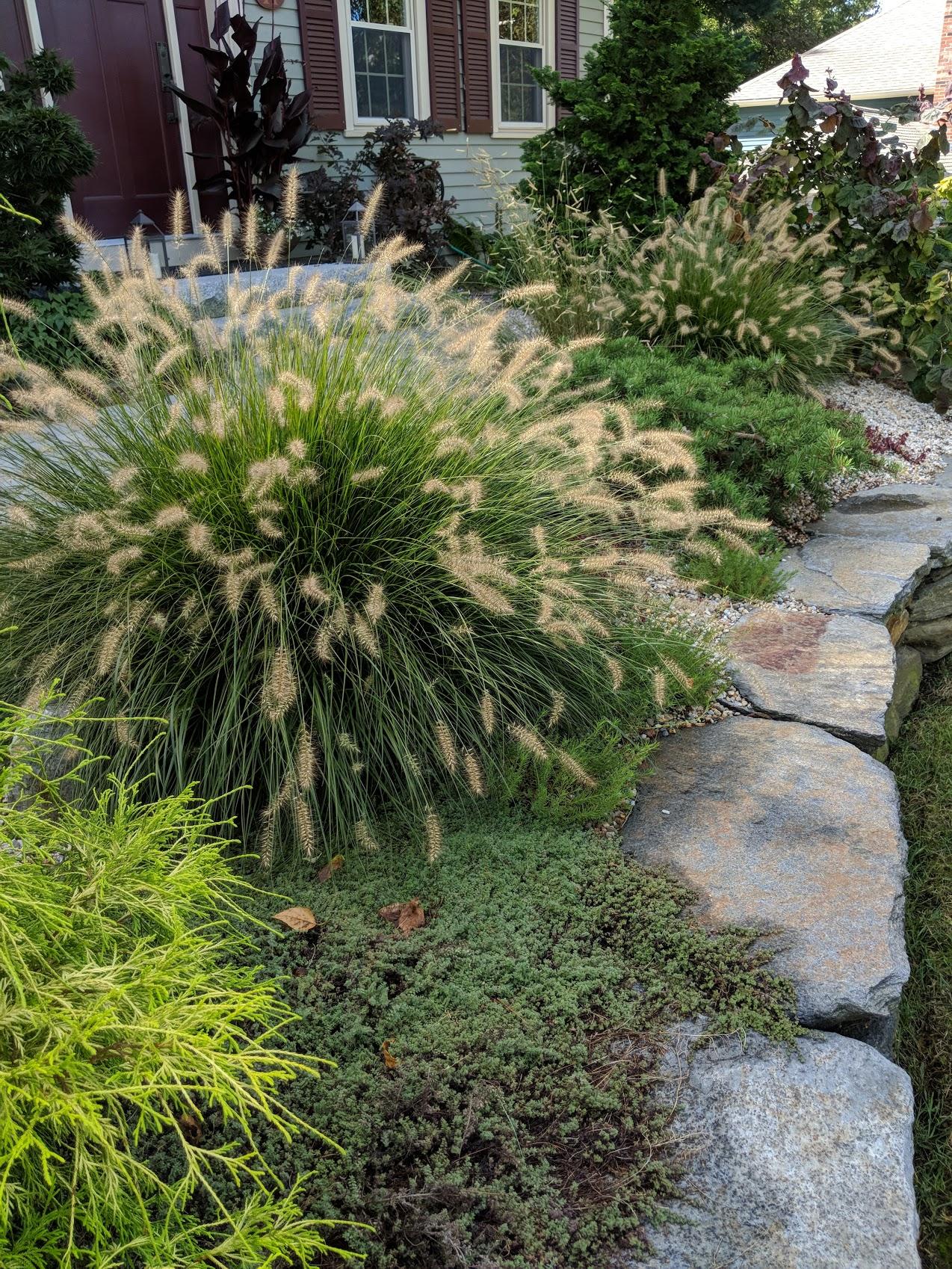 Fountain grasses cascade & soften stone wall