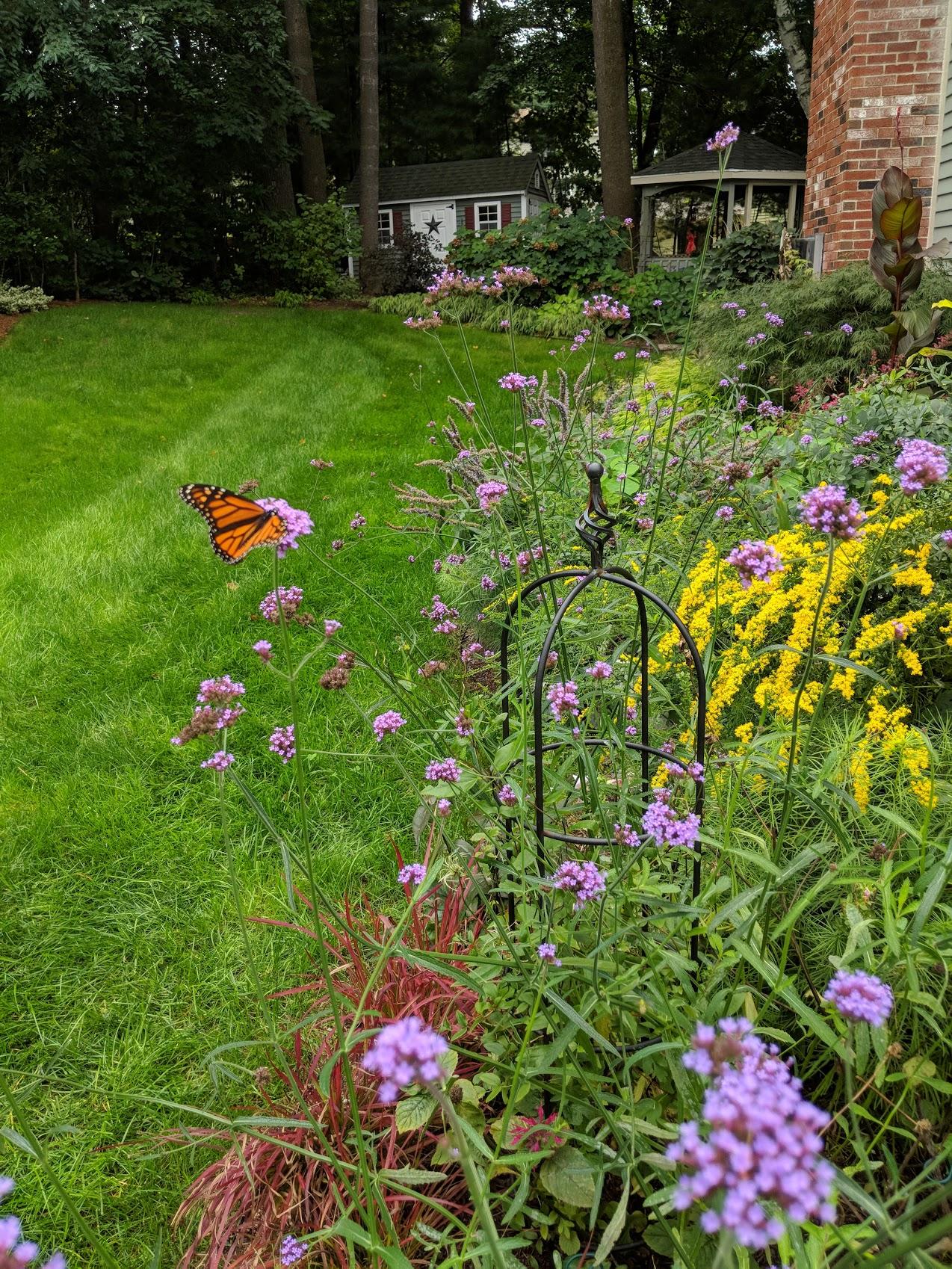 Fall color compliments of  Verbena bonariensis  and Goldenrod