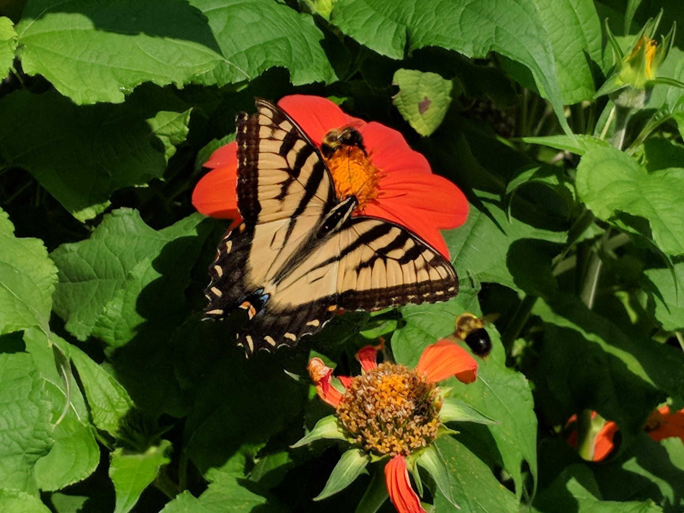 2018-08-24-tithonia-swallowtail-2-bees.jpg