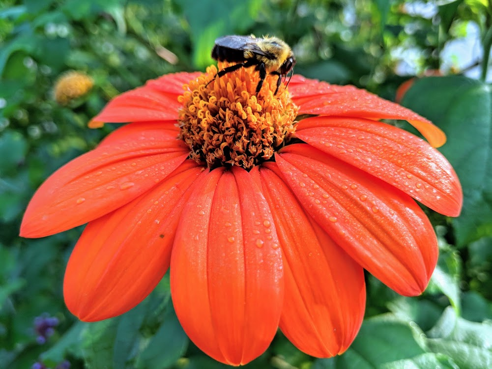 Bumblebee sipping tithonia nectar