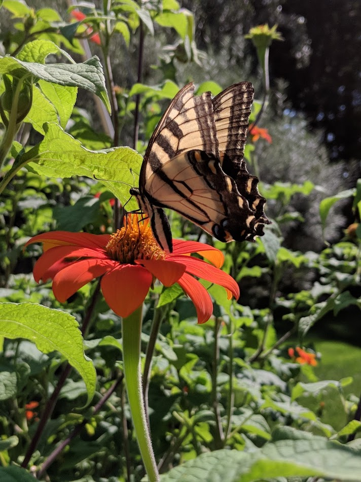 Magnificent Swallowtail on tithonia