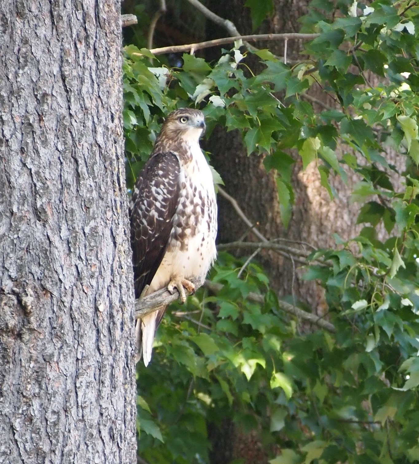2018-08-23-red-tailed-hawk.JPG