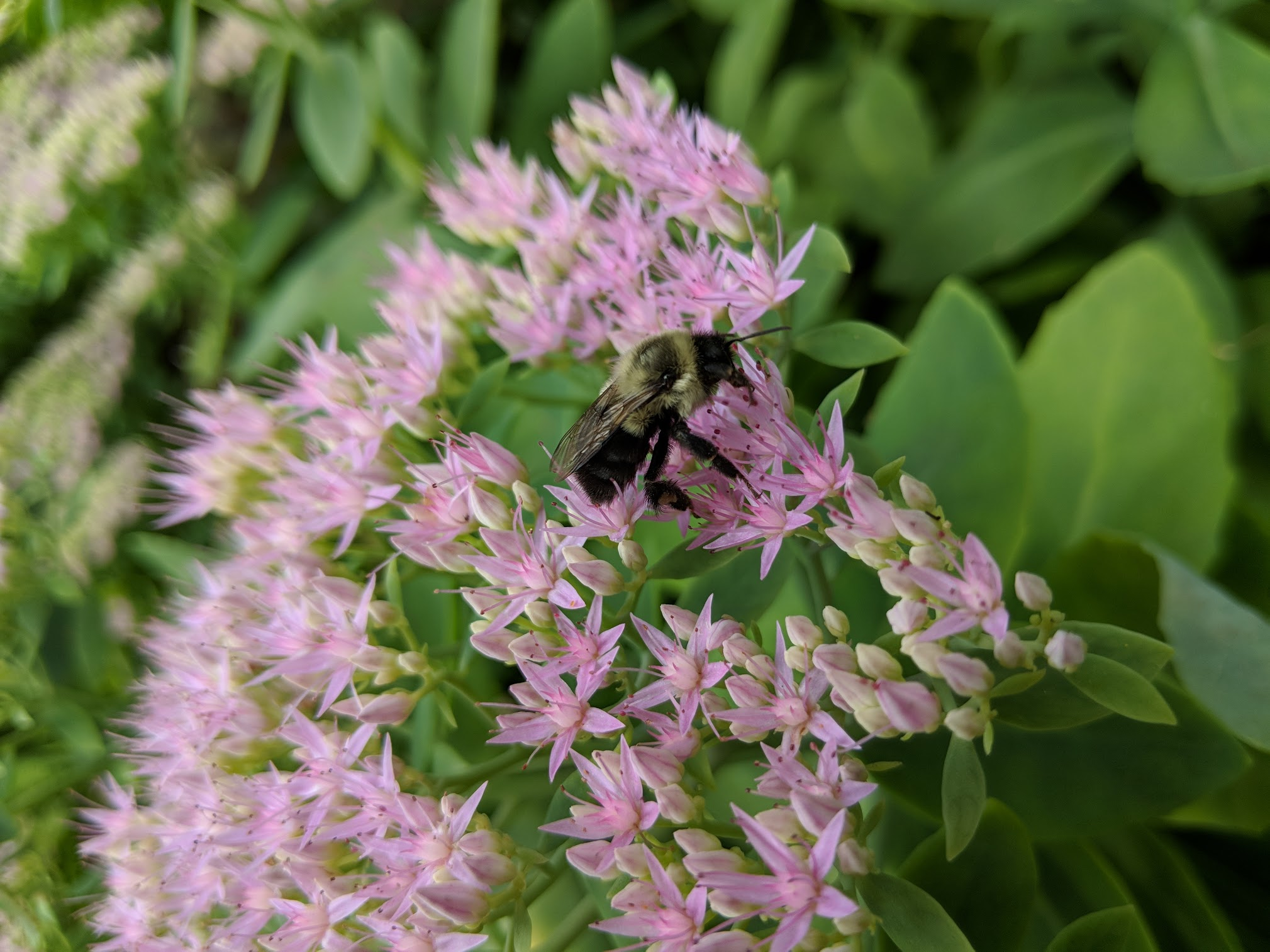 Bombus on Sedum