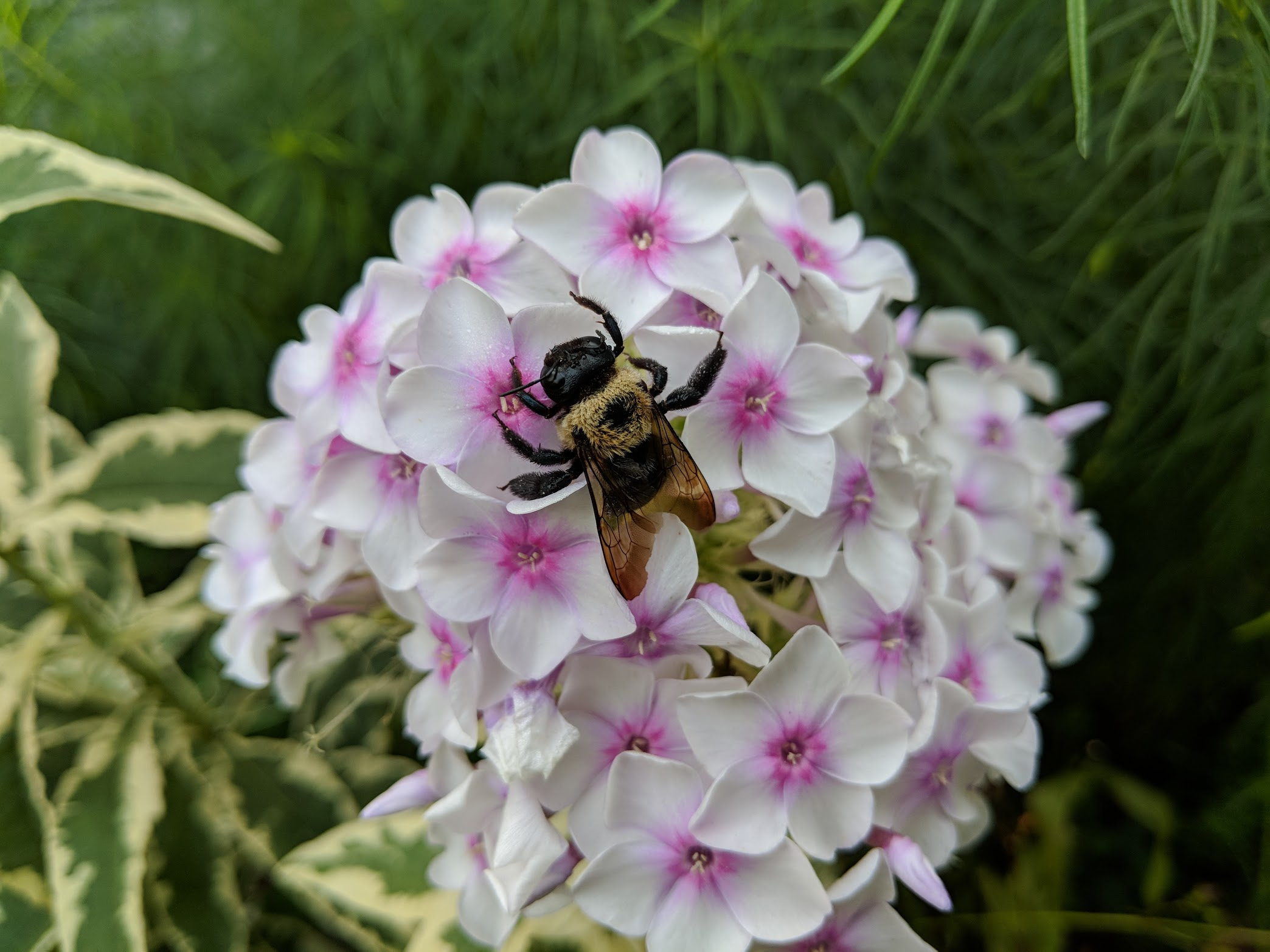 Bombus on phlox