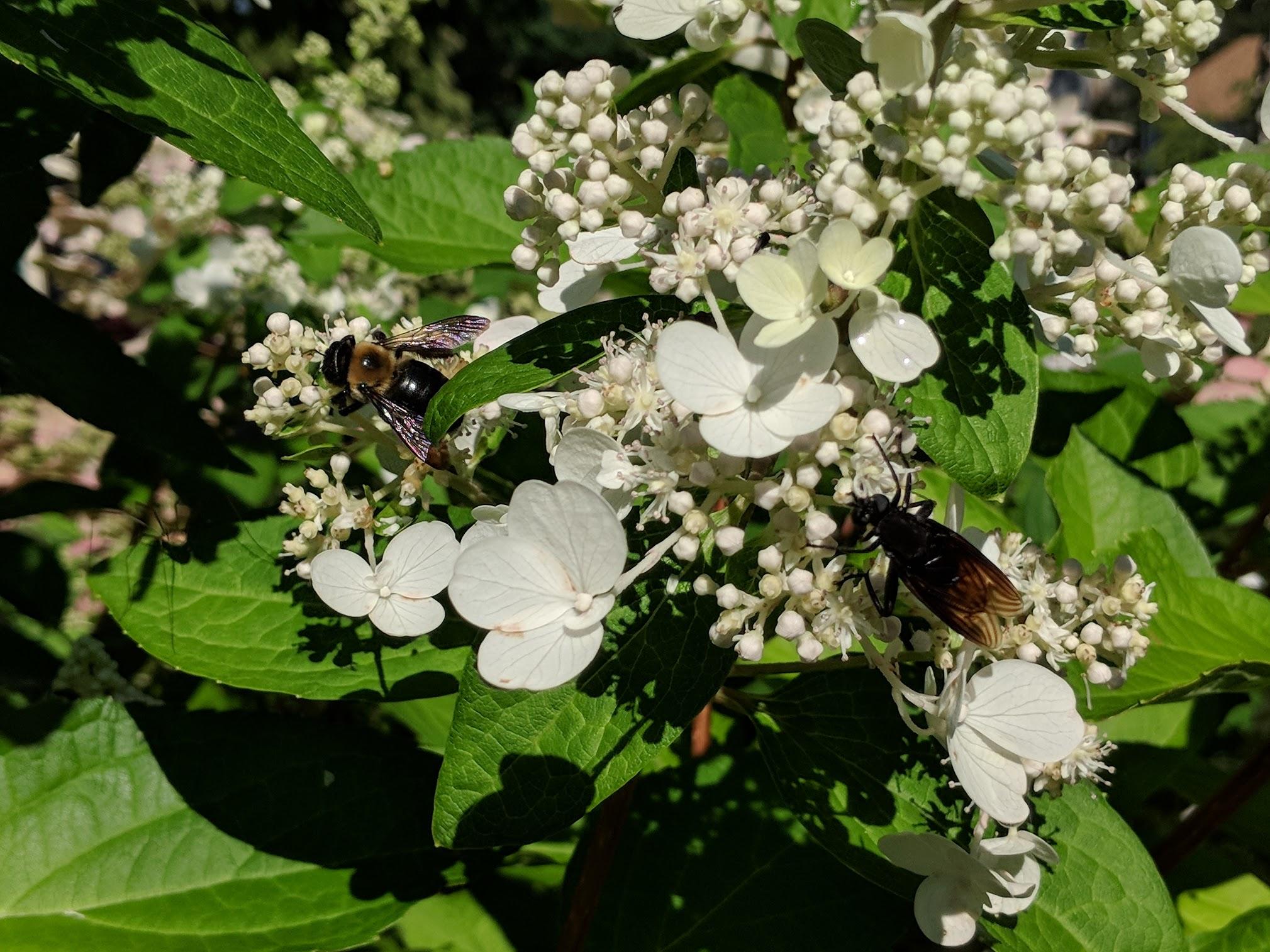 Bombus and wasp on Hydrangea