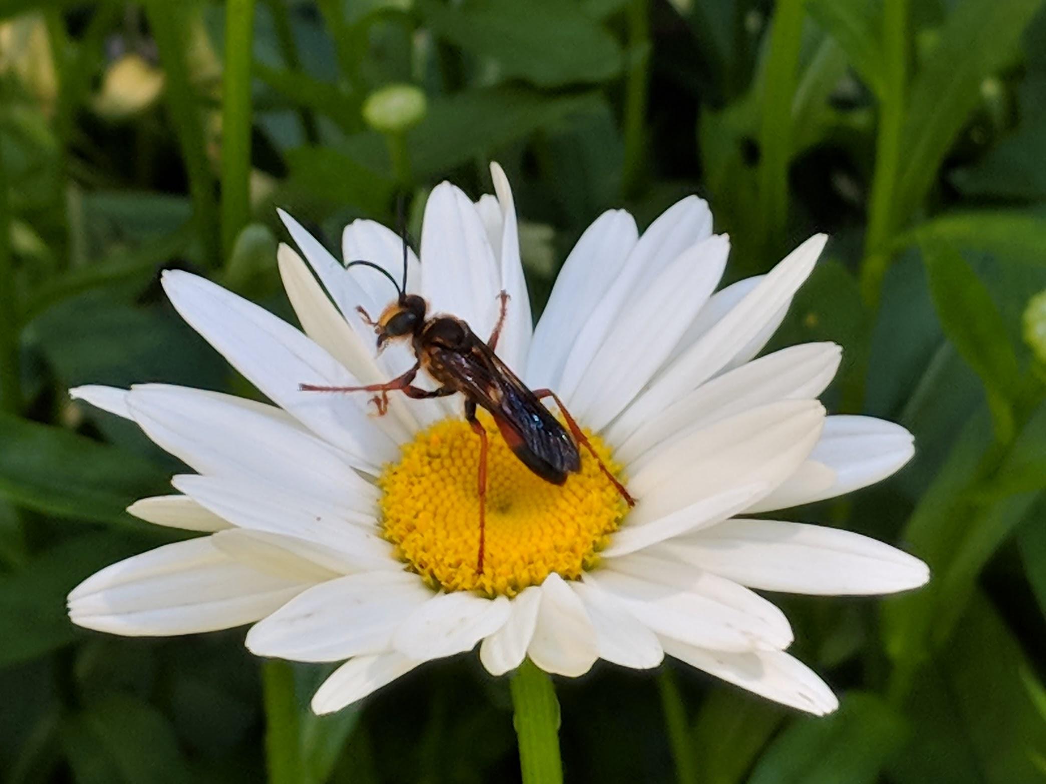 2018-07-09_daisy-wasp.jpg