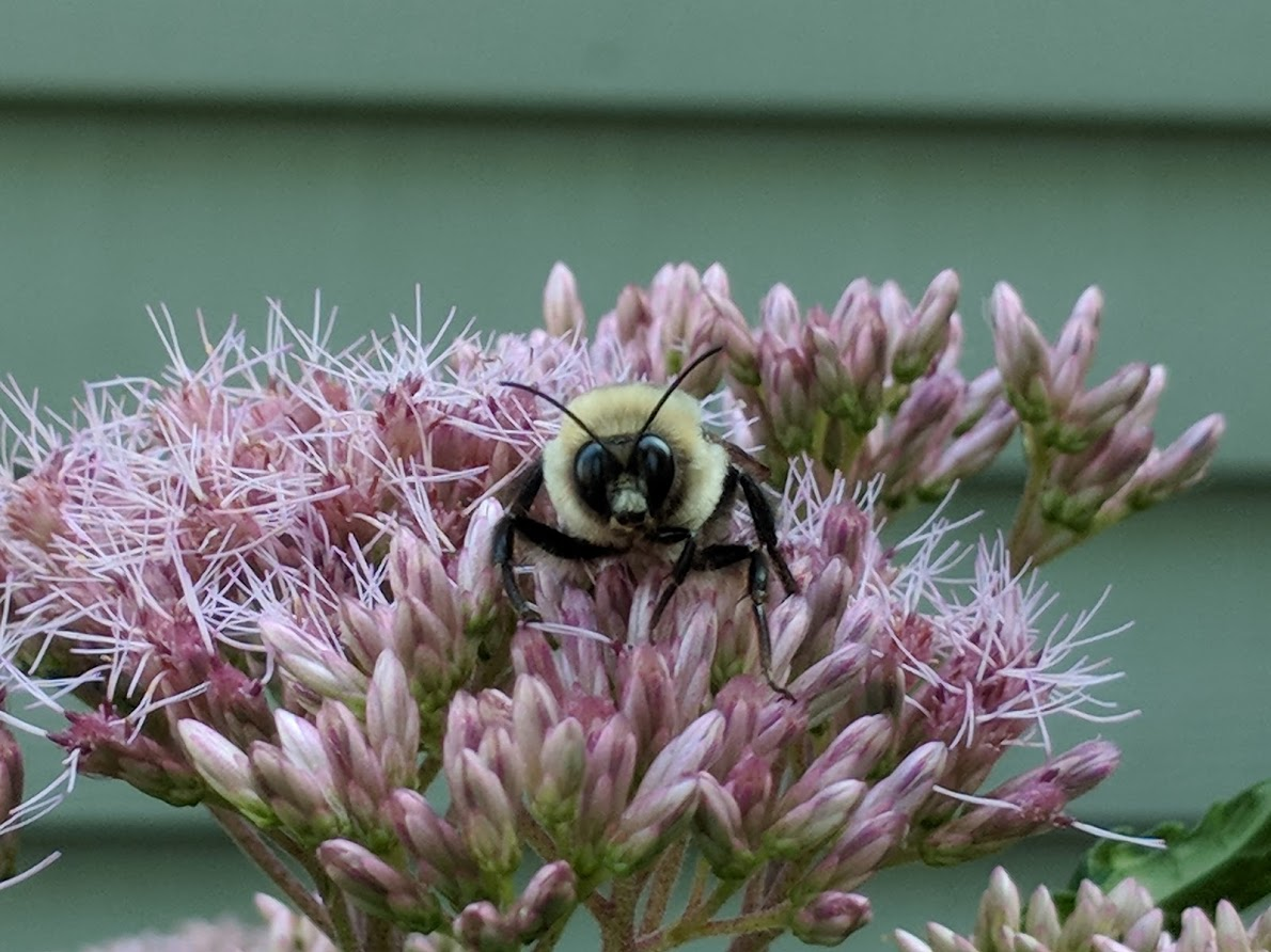 Bombus waking up on Joe Pye Weed