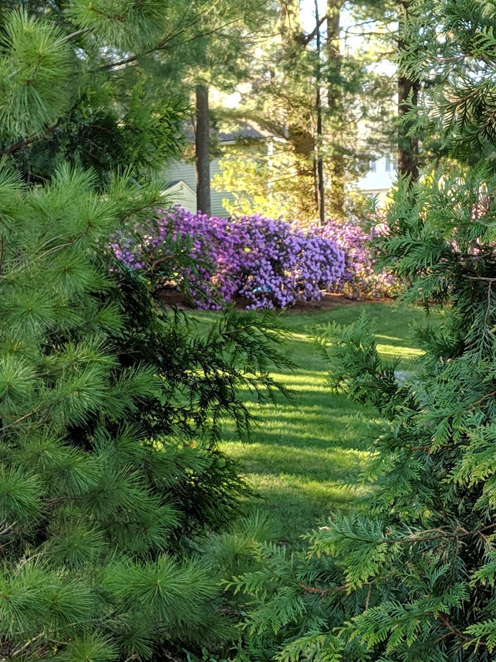 "A ""borrowed view"" - our neighbor's azalea"