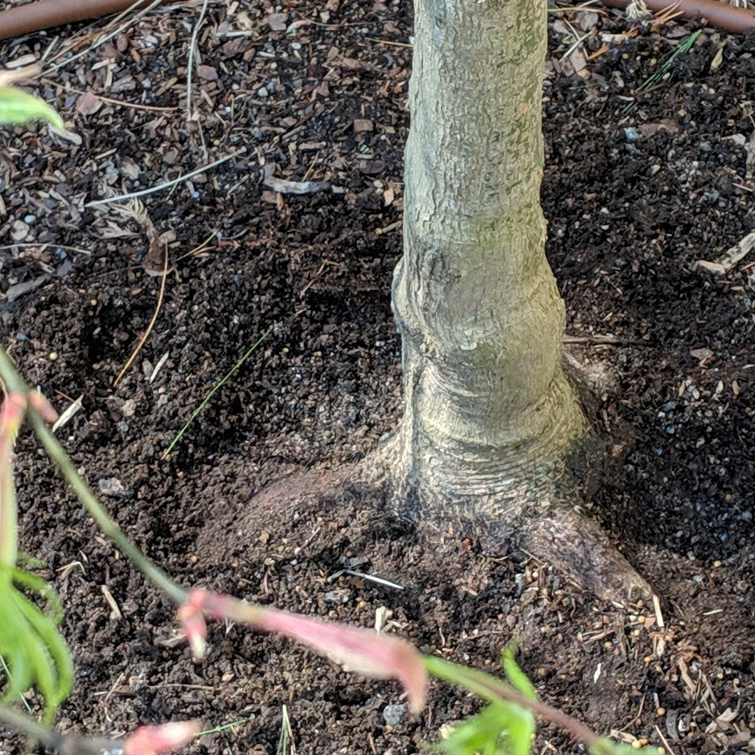 "Make sure not to cover the tree's ""root flare"""