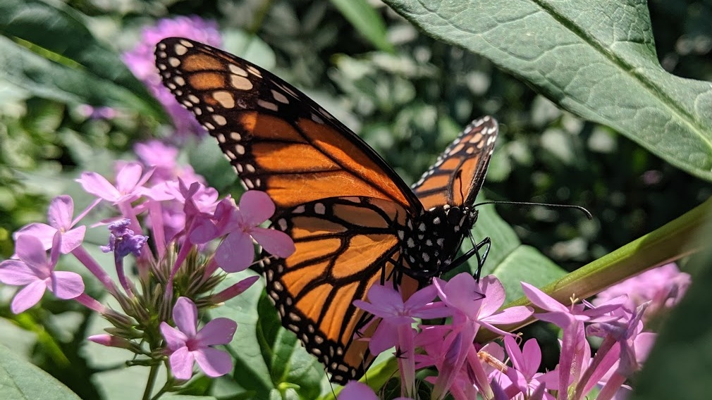 'Jeana' phlox is frequented by Monarch butterflies in The Big Little Garden