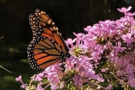 """Female Monarch approves of phlox 'Jeana', a new addition to the """"patio"""" garden this year."""
