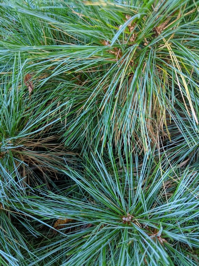 'Merrimack' white pine